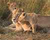 This photograph of an intimate moment between a mother lion and her cub was captured within the Masai Mara in Kenya, Africa (6/13).   This photograph is protected by the U.S. Copyright Laws and shall not to be downloaded or reproduced by any means without the formal written permission of Ken Conger Photography.