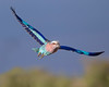 This photograph of a flying Lilac-breasted Roller was captured within the Maasai Mara in Kenya, Africa (3/13).   This photograph is protected by the U.S. Copyright Laws and shall not to be downloaded or reproduced by any means without the formal written permission of Ken Conger Photography.