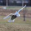 Snowy Owl near Kingston airport