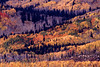 Autumn Aspens    499