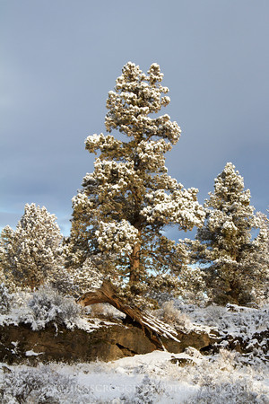 Snow and Juniper Trees 2