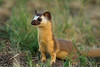 Long Tailed Weasel.  I think they were as curious about us as we were about them.