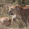 Two Lioness in Africa.