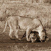 Thirsty Lions. Mother Lion and Cubs in Africa.