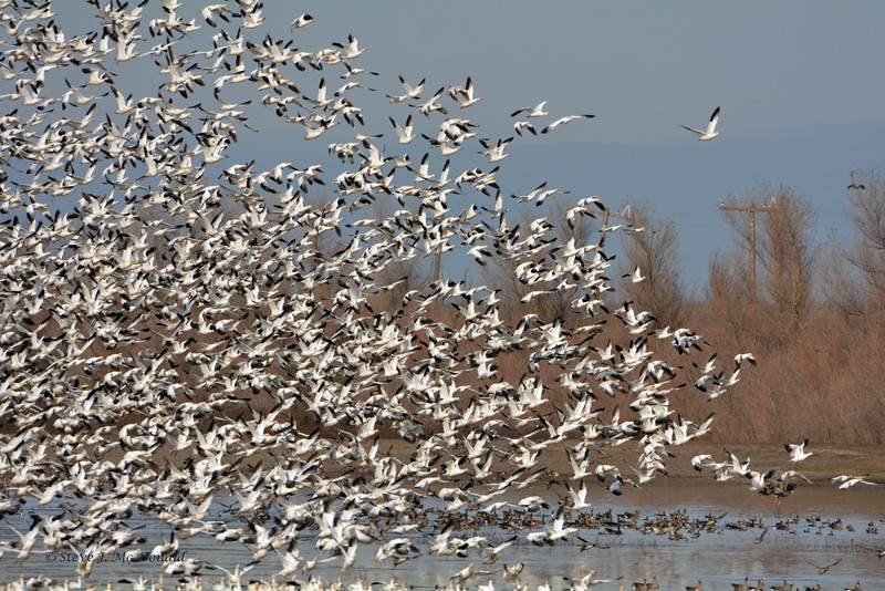 LS WHITE GEESE  03806