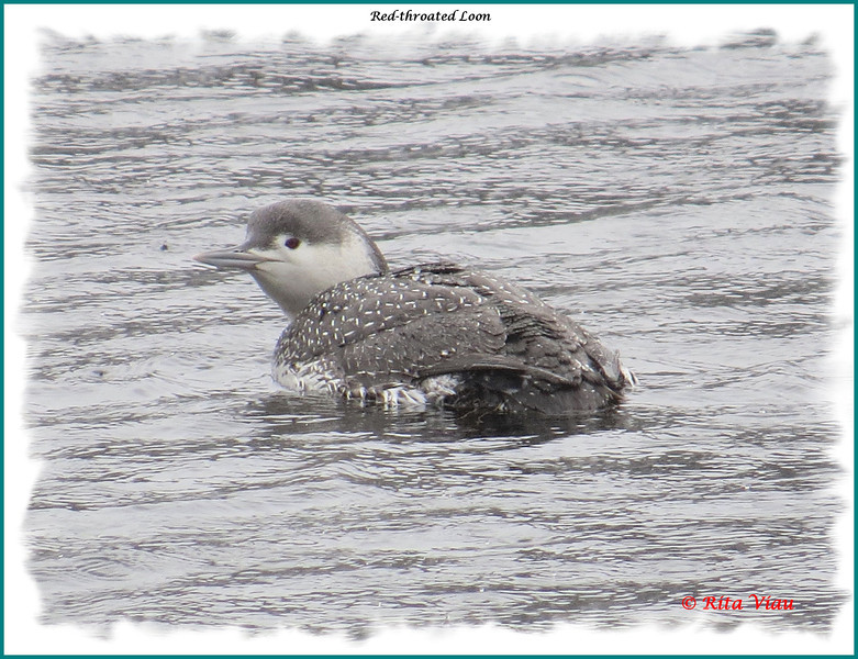 Red-throated Loon - Moirs Mill Pond, Bedford, NS