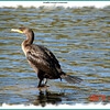 Double-crested Cormorant - October 17, 2006 - Sullivan's Pond, Dartmouth, NS
