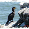 Great Cormorant - August 22, 2009 - Cape Breton Island, NS