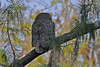 Great Horned Owl (♀?)