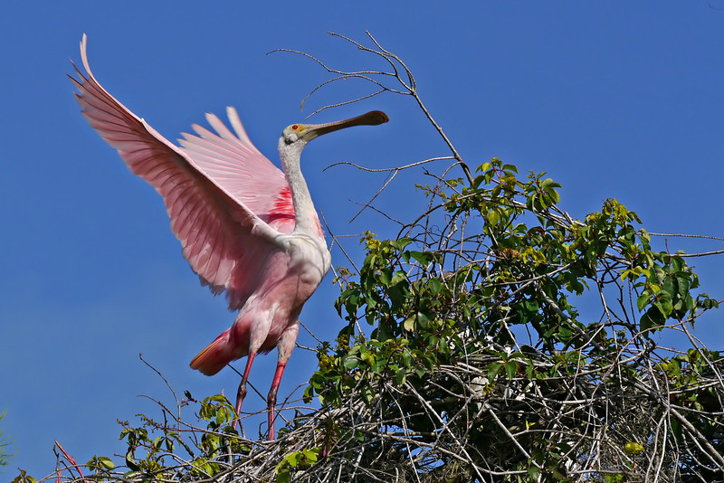 Roseate Spoonbill in tree