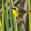 Common Yellowthroat Huntington Beach, CA