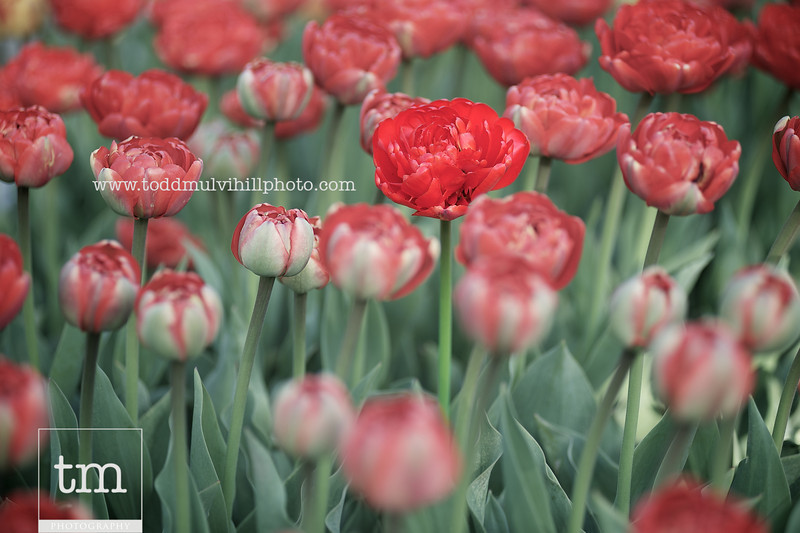 A red tulip tulip stands taller and more fully-bloomed than those around it.