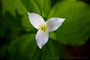 The Perfect Trillium