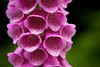 A macro of the flower buds of a common fox glove (Digitalis purpurea).