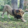 Downward Facing Lion