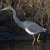 Portrait - Tricolored Heron
