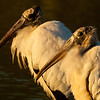 Soft Morning Light Wood  Stork