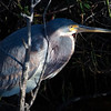 Gentle Light - Tricolored Heron