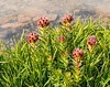 Alpine Clover, along the Beartooth Highway