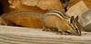 Woodpile Chipmunk