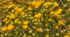 Curly-capped gumweed