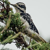 Hairy Woodpecker, Point Lobos