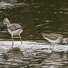 Greater and Lesser Yellowlegs, Crespi Pond
