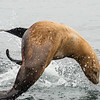 Stellar's Sea Lion, Monterey Seabirds Pelagic Trip