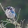 Molting Western Bluebird, Point Pinos