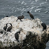 Brandt's Cormorants, Point Lobos