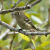 Pacific Slope Flycatcher, Andrew Molera SP