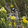 White-crowned Sparrow, Point Lobos