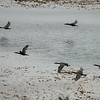 Brandt's Cormorants, Point Pinos