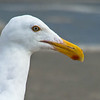 Western Gull, Point Pinos