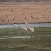Sarus cranes at Keoladeo NP