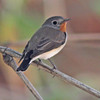 Red-throated flycatcher,male
