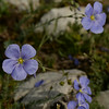 Photo by Bill Schaefer<br /> Blue Flax on Big Windy Peak bench. aka Linum lewisii