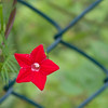 This beautiful plant climbes up the fence of my neighbour. He fights it without any sucess. It opens up early in the morning and closes early, before the dawn. I don't know why it reminds me of Christmas. ( Maybe because it blossoms in November).