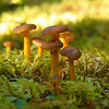 Suppilovahvero (Cantharellus tubaeformis) - Yellowfoot
