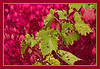 Wild grapes draped over euonymus.<br /> <br /> Treatment:  Accented edges to the grapevine; successively cutout then poster edges to the background of euonymus.<br /> <br /> Parking lot of the Child Care Center for Saint Joseph's Hospital campus,<br /> Ypsilanti, Michigan<br /> September 29, 2011