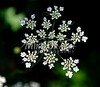 7/25/2009 Mike Orazzi | Staff Queen Anne's Lace in Southington.