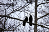 Two American Crows (Corvus brachyrhynchos) keep an outlook perched upon a branch in an Oregon Forest.