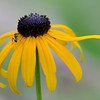 Rudbeckia and Ant