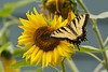 Tiger Swallowtail feeding on Sunflower