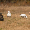 Ross's Geese between Canada and Greater White-fronted Geese