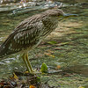 Black Crowned Night Heron (Immature)