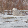 Snowy Owl in Whitby Harbour<br /> on SPNC Owl Prowl Jan 26, 2014