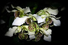 Flower - Orchid - Dendrobium Spider Lily