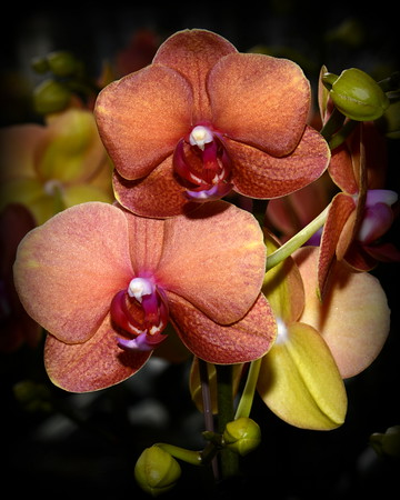Flower - Orchid - Doritaenopsis Surf Song
