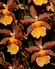 Flower - Orchid - Oncidium Catatante 'Pacific Sun Spots'